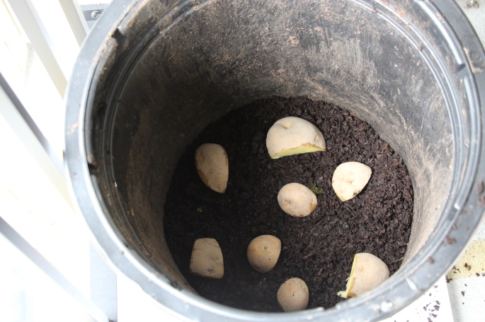 Cut potatoes in a container with soil.